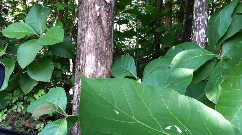 Nicaragua timber investment teak
