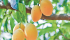 Panama Property Investment in a Mango Plantation
