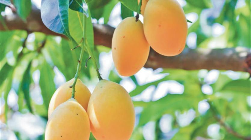 Panama mango investment