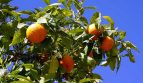 Paraguay Farmland Investment in Orange Groves